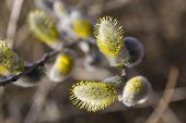 Pussy Willow Branches With Catkins On Blurred Nature Background In Sunlight,  Macro Photo. Flowering poster