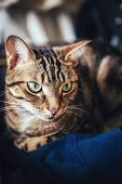 Closeup Of Cute Adorable Short Haired Tabby Cat With Stripes And Yellow Green Eyes Lying On Dark Blu poster