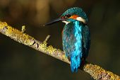Kingfisher comum