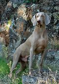 Weimaraner full body portrait