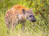 Spotted Hyena (crocuta Crocuta) Scavenger Sneaking Through Long Green Grass Under Morning Light. poster