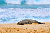 Monk Seal North Shore de Hawaii para dormir