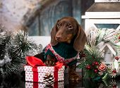 Puppy Christmas dog dachshund in retro decorations poster