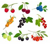 Collection Of Different Varieties Of Berries On The Stem With Leaves. Vector Illustration On White B poster