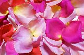 Colorful Rose Petals Closeup. Romantic Atmosphere. Atmosphere Of Love. Beautiful Background Of Rose  poster