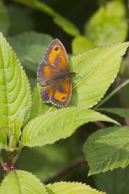 picture of gatekeeper  - Gatekeeper Butterfly  - JPG