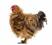 Side view of a Crossbreed rooster, Pekin and Wyandotte, against white background