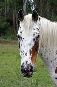 stock photo of appaloosa  - Close up image of an appaloosa horse head looking at the photographer - JPG