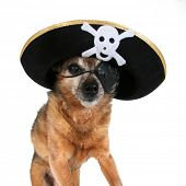 a chihuahua wearing a pirate hat and eye patch