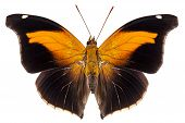 Butterfly Species Historis Odius Orion