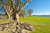Big trees in Embarcadero Marina Park, San Diego, California.