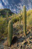 Hillside Cactus