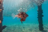 Lionfish Swims Under A Pier While Bait Fish Swirl Above