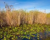 stock photo of marshlands  - Lilies and reeds in the Everglades Florida - JPG