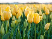 Filed Of Yellow Tulips