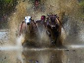 SUMATERA - AUGUST 24: A jockey steps on a harness tied to the bulls takes part in a bull race called 'Pacu Jawi' on August 24, 2013 in West Sumatera, Indonesia. It is held after a rice harvest season.