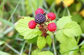 Blackberries Growing On A Branch