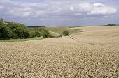 Field of Wheat on Yorkshire Wolds