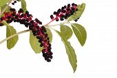 image of inkberry  - with poisonous pokeweed berries isolated on a white - JPG