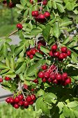 decorative rowan- hawthorn tree with blood-red berries close up