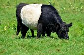 The Belted Galloway