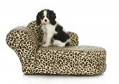 dog sitting on a dog bed - cavalier king charles spaniel sitting on a dog bed isolated on white back
