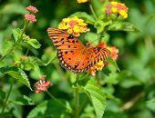 image of lantana  - Gulf Fritillary butterfly on top of Lantana flowers - JPG
