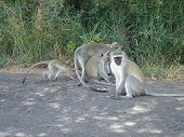 Grey Monkeys On The Road In Kruger Park