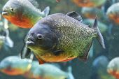 stock photo of piranha  - Closeup of the ferocious red piranha fish - JPG