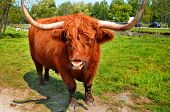 picture of highland-cattle  - Highland cattle are a Scottish breed of cattle with long horns and long wavy coats which are colored black - JPG
