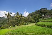picture of west village  - paddy field and coconut trees in a rural village in Padang - JPG