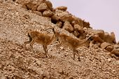 picture of jericho  - While entering the cable car to go up to Masada I spotted a family of fawns following others on the slope - JPG