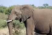 picture of elephant ear  - Kruger park South Africa - JPG