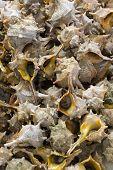 Rapanas Shells