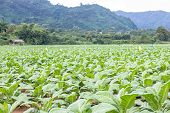 stock photo of tobacco barn  - Tobacco plantation - JPG