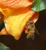 Honey Bee Working
