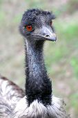 stock photo of ostrich plumage  - Detailed view of the head ostrich. Horizontal position.