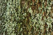 stock photo of lichenes  - Old weathered tree trunk with rough grooved cracked bark covered with patches of lichen and moss - JPG