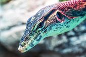 stock photo of giant lizard  - Head of water monitor lizard  - JPG