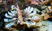 An endemic lionfish, only found in Fiji, extends its pectoral and dorsal fins in a protective stance