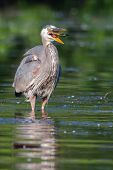 foto of bluegill  - Great Blue Heron eating a fish he just caught