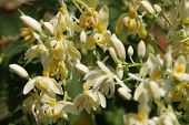 stock photo of moringa  - Moringa flowers and leaves of Moringa tree - JPG