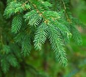 Closeup Of Green Fir Tree Or Pine Branches