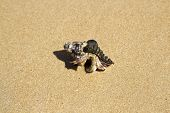 picture of hermit  - Hermit crab looks out of a mussel - JPG