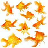 Collage Of Nine Fantail Goldfish On White