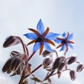 Savory Hortensis (satureja Hortensis, Harige Hortensis)