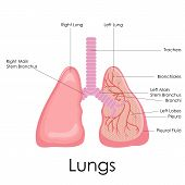 pic of bronchus  - vector illustration of diagram of human lungs anatomy - JPG
