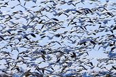 picture of geese flying  - Hundreds of Snow Geese Taking Off Flying In Response to Threat Skagit Valley Washington - JPG