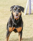 Rottweiler posing on the lawn