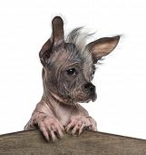 Close-up of a Chinese crested dog leaning on a wooden board, isolated on white